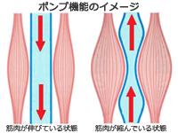 ふくらはぎの筋肉(ポンプ機能イメージ)